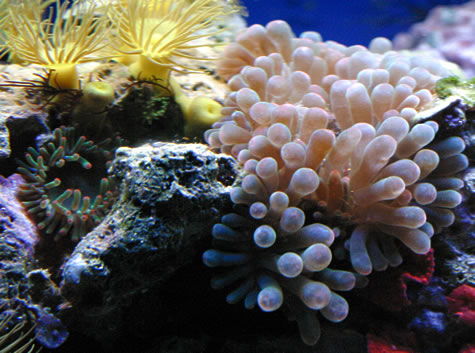 This photo shows the 2 types of anenomes in our Minibow Nano Reef. A Tulip Anenome and a Bubble Tip Anenome.
